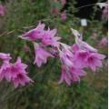 Dierama  'Pink Rocket'