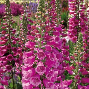 Digitalis purpurea 'Dalmation Rose'