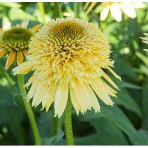 Echinacea  'Eccentric Yellow'