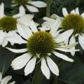 Echinacea  'Kismet White'