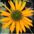 Echinacea  'Kismet Yellow