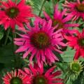 Echinacea  'Sombrero Tres Amigos'