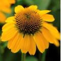 Echinacea  'Sombrero Lemon Yellow'