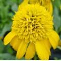 Echinacea  'Sunny Days Lemon'