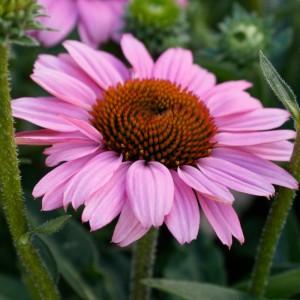 Echinacea  'Sunseekers Light Pink'