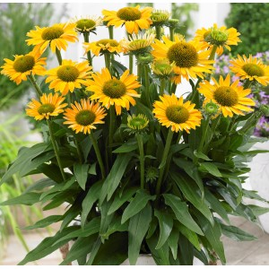 Echinacea  'Sunseekers Mellow'