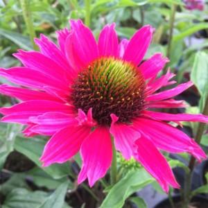 Echinacea  'Sunseekers Magenta'