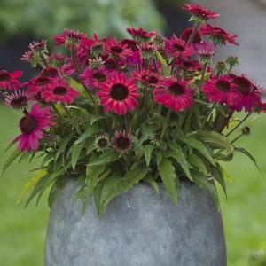 Echinacea  'SunMagic Vintage Red'