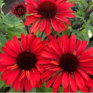 Echinacea  'Sunseekers Orange'