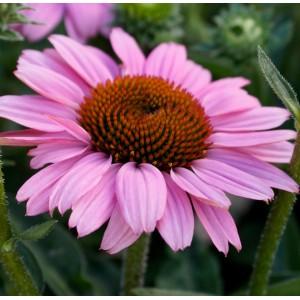 Echinacea  'Sunseekers Pink'