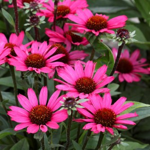 Echinacea  'Sunseekers Purple'