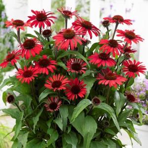 Echinacea  'Sunseekers Red'