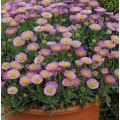 Erigeron  'Sea Breeze Pink'