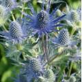 Eryngium planum 'Magical Blue Lagoon'