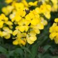 Erysimum  'Spring Breeze Sunglow'