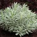 Euphorbia characias 'Silver Swan'