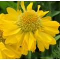 Gaillardia grandiflora 'Mesa Yellow'