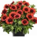 Gaillardia  'Spintop Red'