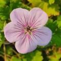 Geranium wallichianum 'All Summer Joy'