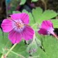 Geranium x monacense 'Breckland Fever'