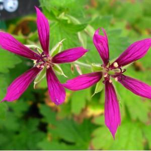 Geranium psilostemon 'Catherine Deneuve'
