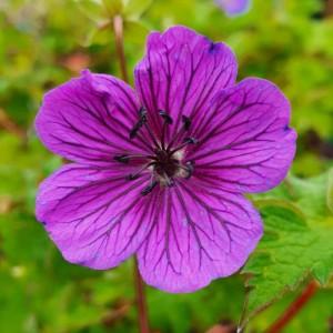 Geranium wallichianum 'Daily Purple'