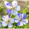 Geranium pratense 'Delft Blue'