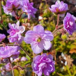 Geranium pratense 'Else Lacey'
