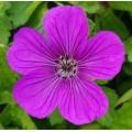 Geranium wallichianum 'Hexham Velvet'