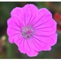 Geranium sanguineum 'John Elsley'