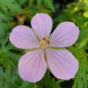 Geranium clarkei 'Kashmir Pink'