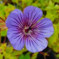 Geranium wallichianum 'Magical All Summer Deep Blue'