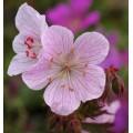 Geranium pratense 'Marshmallow'