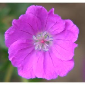 Geranium sanguineum 'Max Frei'