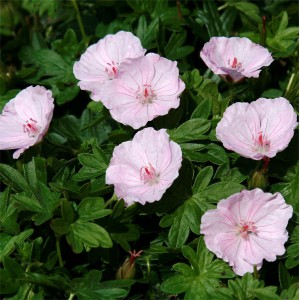 Geranium sanguineum 'Pink Summer'