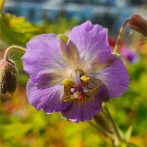 Geranium phaeum 'Walkure'
