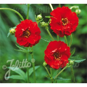 Geum flora plena 'Blazing Sunset'