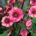 Geum  'Tempo Rose'