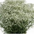 Gypsophila  'Festival White'