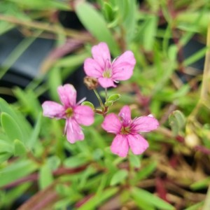 Gypsophila repens 'Filou Rose'