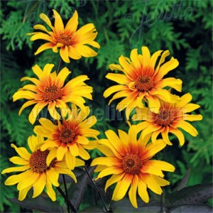 Heliopsis helianthoides 'Burning Hearts'