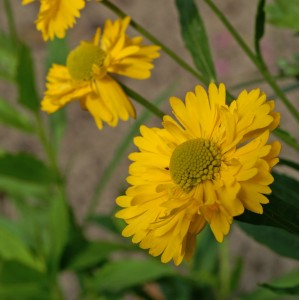 Helenium  'Double Trouble'