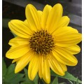 Helianthus  'Flying Saucers'