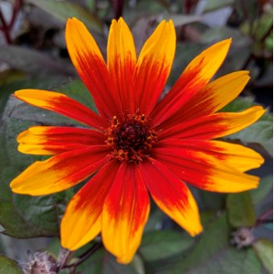 Heliopsis helianthoides 'Funky Spinner'
