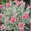 Helichrysum  'Ruby Cluster'