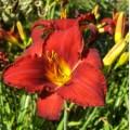 Hemerocallis  'Ruby Stella'