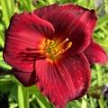 Hemerocallis  'Stella in Red'