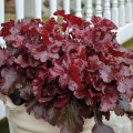 Heuchera  'Cherry Truffle'