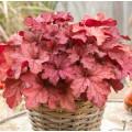 Heuchera  'Coralberry'