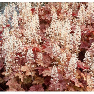Heucherella  'Honey Rose'